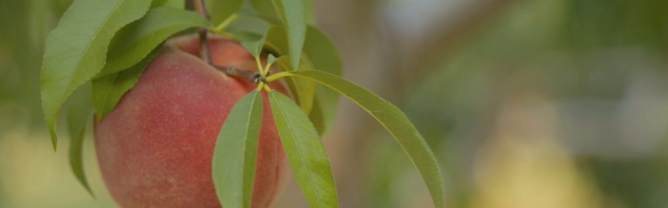 a peach hanging from a tree on a Connecticut farm